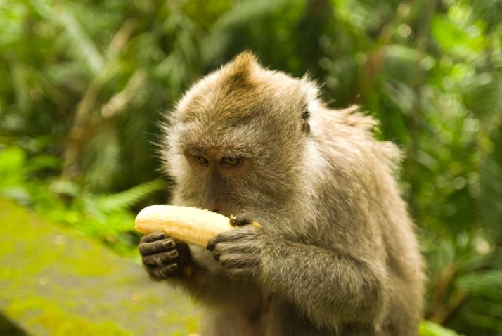 Complete Guide To Bananas: Facts, Benefits, Tutorials, Recipes & Videos; Balinese monkey with banana